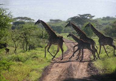Exclusive-Wilderness-Trails- Giraffe -Serengeti National Park-Tanzania Safari