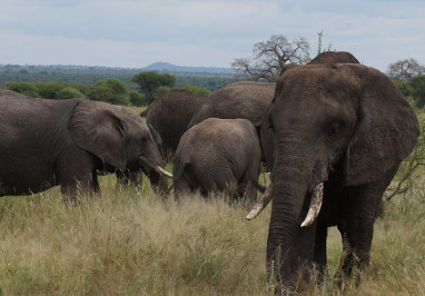 African-Elephants Tarangire National-Park-Exclusive-Wilderness-Trails