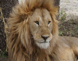 Exclusive-Wilderness-Trails – African-lion -Serengeti National Park