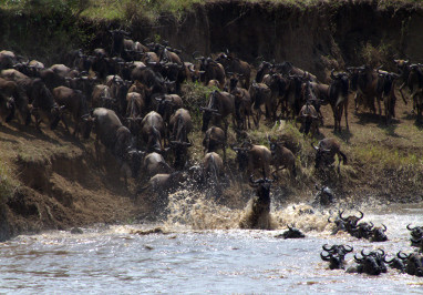 Wildebeest Crossing Mara River -Exclusive Wilderness Trails (11)