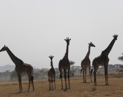 12 Days Exotic Tanzania Wildlife Excursion South & Central - Exclusive-Wilderness-Trails -Giraffe