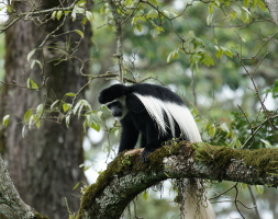 black and white Colobus Monkey-Arusha National Park