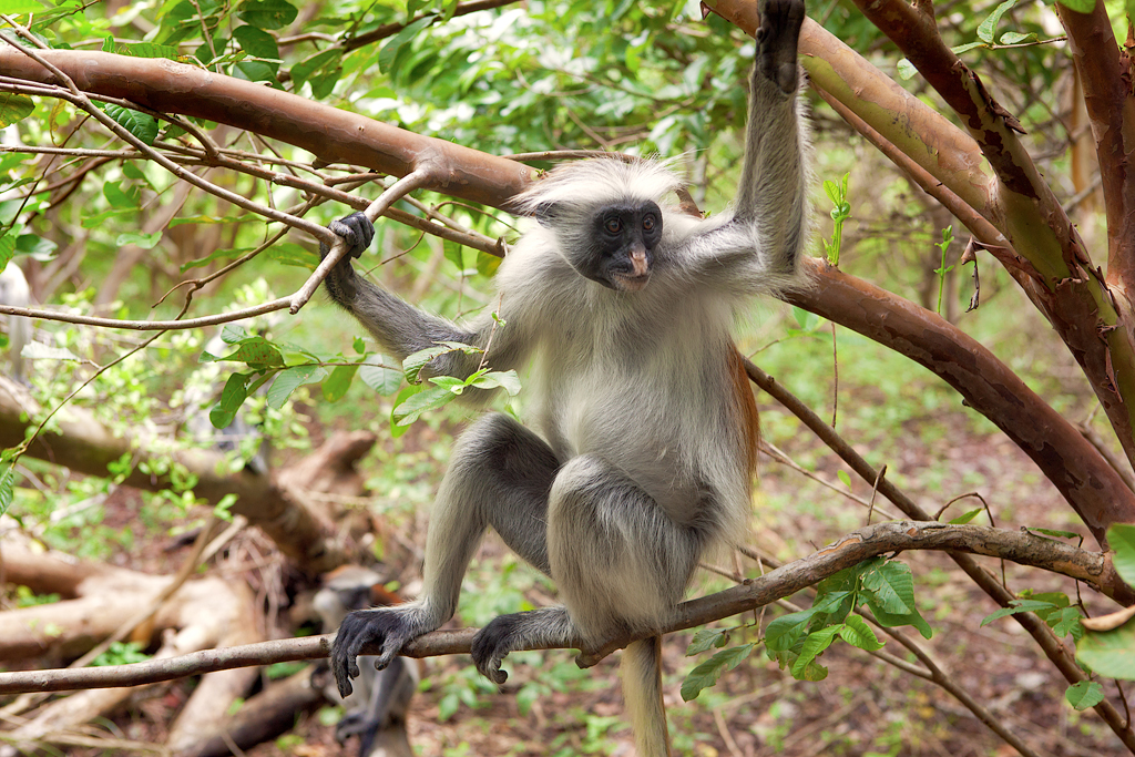 Red colobus (Piliocolobus kirki) monkey-exclusive wilderness trails