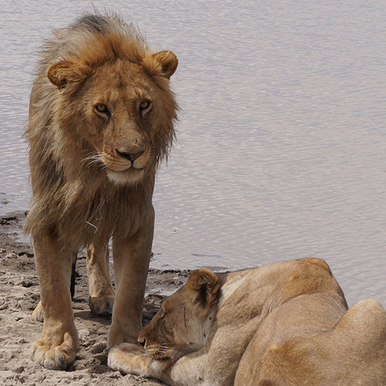 Lions -exclusive wilderness trails - Serengeti National park
