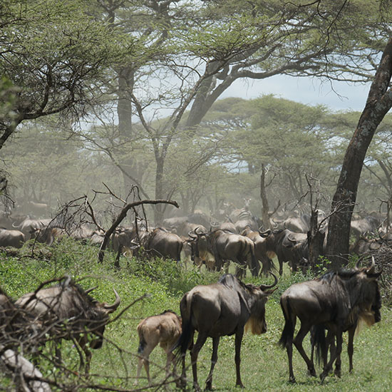 8 Days Exotic Serengeti Wildebeest Migration -exclusive wilderness trails