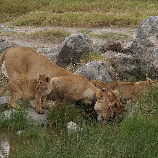 exclusive wilderness trails-lioness & cubs -Serengeti National Park