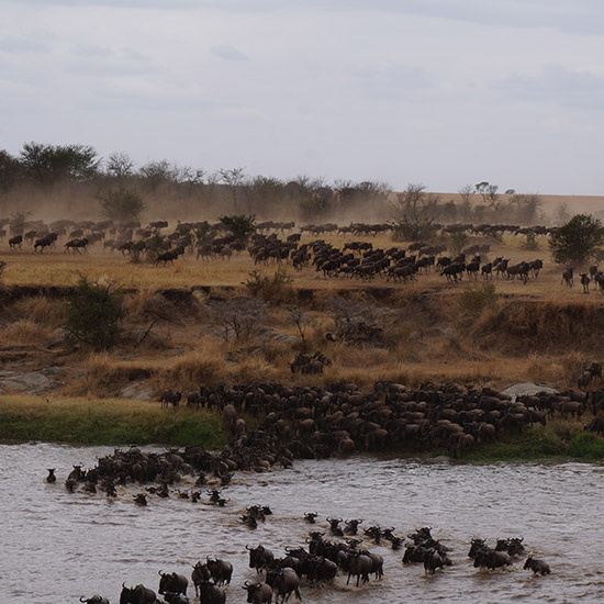 wildebeest migration crossing the river